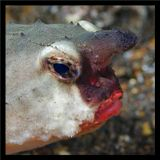Галапагоссы. Red-Lipped Batfish.Кроме неординарной внешности, отличается необычным для рыб поведением. Не плавает, а бегает по дну.