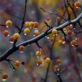 Дикие яблочки тоже плачут...природа дикие яблочки слёзы