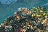 Осьминог летал над кораллами, удивляя своим умением менять окрас, принимать причудливые позы, выбирать непредсказуемое место посадки. Наконец, найдя самое удобное пристанище, по его разумению, конечно,уютно устроился поближе к солнечным лучам.  Осьминог, Красное море