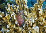 Короткая Экзалия (размер рыбки около 6 сантиметров)в Огненных Кораллах. Красное море