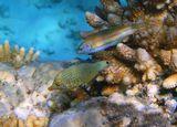 Оксимонакант- Арлекин (нижняя) и Талассома (верхняя), Акропора Ламарка (коралл)Размер Рыбок 4-5 сантиметровКрасное море