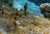 """В этот день было такое волнение на море,что даже на глубине Голожаберник больше """"летал"""", чем ползал...http://content-6.foto.my.mail.ru/mail/mvmil56/6788/s-7137.jpgРазмер Моллюска около одного сантиметраХромодорис Четыхцветный ( Голожаберный моллюск),Красное море"""