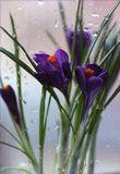 Крокусы вчерашние, предвестники весны...