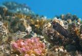 """Каштановый Циррипект (справа)- пугливая маленькая Рыбка, размером около 10 сантиметров. При малейшей опасности прячется, """"поймать"""" ее очень сложно. Обычно Она смотрится, как полностью черная, и лишь при удачном попадании света можно рассмотреть ее окрас. Слева- малёк Кардинала- очевидно, приплывший навестить Собачку.  Каштановый Циррипект, малёк Кардинала, Красное море"""