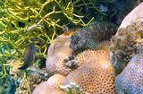 Короткая Экзалия (справа), размер Рыбки около 10 сантиметрови Жемчужный Иглобрюх (слева, в ветвях коралла)Короткая Экзалия, Жемчужный Иглобрюх, Красное море