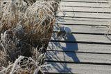 Молодой горностайчик обитал где-то недалеко от охотничей избушки. Он уже настолько привык к людям, что охотился не скрываясь от них. Нередко добыча  по размерам почти не уступала охотнику.