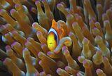 Размер Рыбки меньше мизинчика- это видно в сравнении с Актинией Амфиприон в Актинии, Красное море