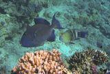 Голубой Губанчик  выбрал для себя необычный способ добывания пищи: он очищает других рыб от паразитов, отмершей чешуи и кусочков кожи. Рыбам очень нравится такая услуга, так как у них нет другого способа избавиться от назойливых паразитов. На фотографии рыбки выстроились в  очередь на чистку!  Коричневый Псевдобалихт (около 70 см), Голубой Губанчик (около 10 см), Перистохвостый Хейлин (около 45 см), Красное море