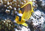 Размер Рыбки около 15 сантиметров.Полосатая Рыба- Бабочка, Красное море