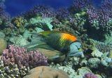 """Большеротый Губан или Губан-Хейлин- обитатель коралловых рифов и лагун. Длина около полуметра. Осторожен, не подпускает близко.  Интересен его способ питания. Трубчатый рот """"выстреливает""""  чуть ли не на половину длины его тела и хватает мелкую рыбу или креветку. Поймать """"выстрел""""- большая удача: http://content-2.foto.my.mail.ru/mail/mvmil56/6788/s-7019.jpg  Большеротый Губан, Красное море"""