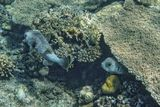 Рыба- Ёж предпочитает жить вне стаи, проявляет активность в ночное время,днем прячется в тени нависающих кораллов. Размер около метра.Питается морскими ежами, брюхоногими моллюсками и ракообразными, разгрызая их своими сросшимися в крепкие пластины зубами. Защищена она  отлично, а ядовита просто до крайности: примерно так же,как Рыба Фугу. Яд ее шипов способен убить человека.Длинношипая Рыба- Ёж, Красное море