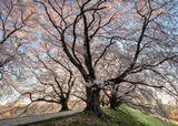 Аллея находится недалеко от Киото, в Яватаси. На речном острове высажена аллея сакуры длинной 1500м