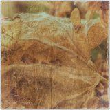 Сухие листья хмеля.
