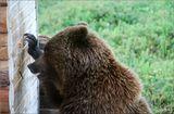 Только компания туристов села за обеденный стол, как кто-то снаружи стал рваться в дом. Решили что это припоздавший и побежали открывать дверь. Но опытный проводник осадил их и  по рации связался с нами, сидевшими в соседнем домике.  Мы выглянули в окно и обомлели- в дом рвался матерый медведь! Наш гид выставил в форточку ружье и пальнул в небо. Медведь от такого негостеприимства громко рявкнул и рысью помчался прочь. Некоторые успели при этом сделать несколько снимков.