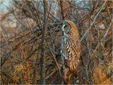 Бородатая неясыть на о. Татышев, г. Красноярск. Сова, птица, природа, хищник.