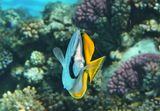 Нитеперая Рыба- БабочкаРазмер Рыбки около 15 сантиметровКрасное море