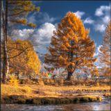 Роскошная лиственница в золотом осеннем наряде. Прибрежный район Байкала. Октябрь месяц