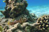 Краснополосый Групер. Размер Рыбки около 20 сантиметров. Красное море
