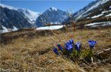 Весенние цветы на склонах Северо-Чуйского хребта алтайских гор