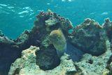 Гигантская Мурена, Красное море