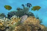 Короткая Экзалия (размер Рыбки 10 сантиметров)Красное море