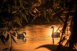озеро семья лебеди закат