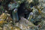 Здесь можно посмотреть, как Перечная Мурена ищет чем бы поживиться:http://my.mail.ru/mail/mvmil56/video/1163/2606.htmlМурена Перечная, Красное море