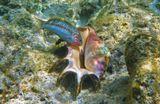 Талассома Клунцингера- рыба семейства Губановых,Лямбис- вид морских Брюхоногих Моллюсков. Красное море