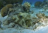 Размер Рыбки около 20 сантиметров.Колючий Аротрон, Красное море