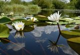 Ворскла,река,лилии