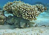 """Размер Рыбки около 20 сантиметров. Рассмотреть """"лицо"""" поближе можно здесь:http://content-2.foto.my.mail.ru/mail/mvmil56/7225/s-7625.jpgДлинношипая Рыба- Ёж, Красное море"""