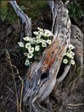 Нежные цветы ветренницы в суровых условиях высокогорья Бурятии