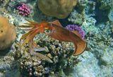 Размер Кальмара около 20 сантиметровСепиотеутис (Прибрежный Кальмар), Красное море