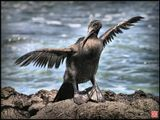 Это ещё один уникальный Галапагосский птиц - нелетающий корморан (flyless cormoran).В других местах земного шара они летают, ещё как! А здесь, при наличии пищи и полном отсутствии врагов -ЭТУ СПОСОБНОСТЬ УТЕРЯЛИ...И, похоже, совсем об этом не жалеют! :))На картинке он сушит перья, а не пытается взлететь... :))
