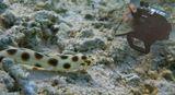 Длина Угря около метра: http://content-2.foto.my.mail.ru/mail/mvmil56/7225/s-7756.jpgОстрохвостый Пятнистый Угорь, Красное море