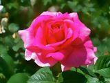 Посмотрев на эту цветущую красивую розу, вспоминаю о летних теплых денечках,когда природа радует нас ярким и сочным цветением ... Приятных воспоминаний и ВАМ! :-)