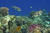 Размер каждой Рыбы около полуметраЗвездчатый Аротрон, Красное море