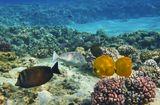 Масковые Рыбы- Бабочки (размер около 15 сантиметров), Синешипая Рыба- Носорог (малыш), Зебрасома- ПарусникКрасное море