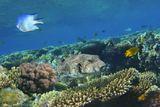 Размер Аротрона около полуметра. Рацион питания Звездчатых Аротронов довольно обширен. Они поедают разные виды моллюсков и ракообразных. Не прочь полакомиться и рыбами, а также разнообразить рацион водорослями или же наростами на рифах и камнях, причем последние Аротрону очень легко соскребать своими необычными зубами.  Вверху Индийская Рыба- Ласточка, желтые Рыбки- Лимонный Леопольдит, коралл- Поциллопора Бородавчатая.Красное море