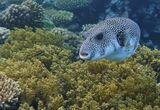 Колючий Аротрон, мальки Талассомы, Клюворыла,Мягкий Коралл Литофитон Древовидный Красное море