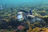 Масковый Аротрон, Аравийская Рыба- Хирург, Полосатый Ктенохет Красное море