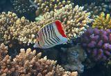 Красноспинные Рыбы- Бабочки обитают только в Красном море.Размер около 10 см. Без устали порхают, как настоящие Бабочки,позировать НЕ любят. Рацион их питания состоит из мягких кораллов, водорослей и небольших ракообразных. Красноспинная Рыба- Бабочка, Красное море