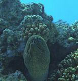 Гигантская Мурена, снято на глубине около семи метров.Красное море