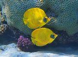 Масковая Рыба- Бабочка, Красное море