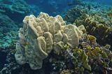 Коралл- Мозговик, Красное море