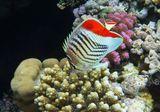 Размер Рыбки около 15 сантиметров.Красноспинная Рыба- Бабочка, Красное море