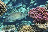 Родственник Спинорогов. Более стройный и с более тонким спинным шипом. На каждой чешуйке есть зубчик, из-за чего рыбу также называют рыба-напильник . Рыба довольно большая до 1 метра длиной.Расписной Алутер, Коралл Поциллопора БородавчатаяКрасное море