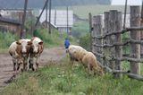 Деревня в 40 км под Иркутском. Пастораль, деревня, утро в деревне, коровы, телята