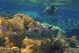 Размер Рыбы 70- 80 см. Поедает разные виды моллюсков и ракообразных. Не прочь полакомиться и рыбами, водорослями или же наростами на рифах и камнях. Кожные выделения содержат токсины. Так же некоторые части тела являются очень ядовитыми, при попадании в организм они почти всегда вызовут летальный исход.Звездчатый Аротрон, Красное море