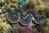 Тридакна- двустворчатая раковина, в которой  живет моллюск.В зависимости от окраса Моллюска Тридакна приобретает разнообразные цвета и оттенки,рисунок, формы, поражающие своей неповторимостью, изысканностью, красотой.Чешуйчатая Тридакна, Красное море